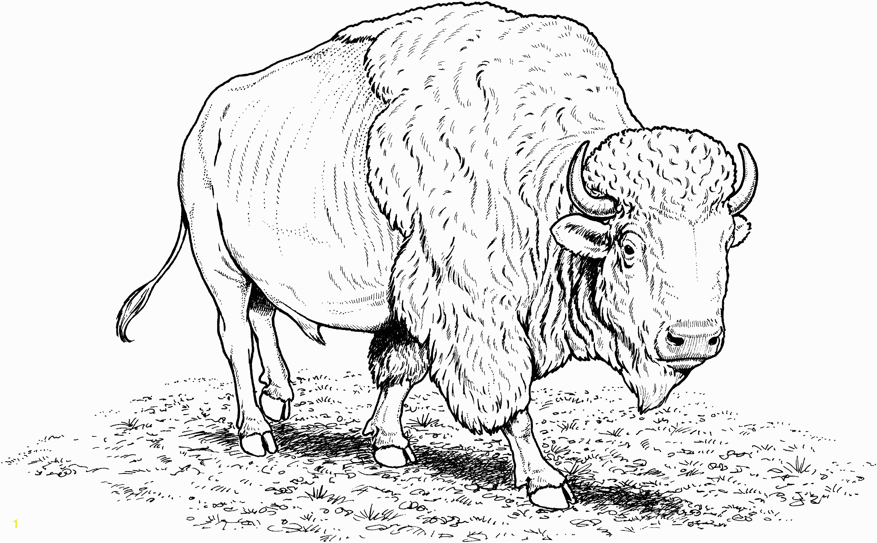 Free Buffalo Coloring Pages