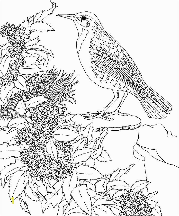Free Printable Coloring Page Oregon State Bird and Flower Western Meadowlark Oregon Grape educational printables Bird Printable s