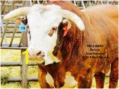 Fire & Smoke Bucking Bulls Bull Riding 8 Seconds Cows Cattle