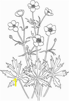 Ranunculus Acris or Tall Buttercup Coloring page Flower Coloring Pages Coloring Pages For Kids