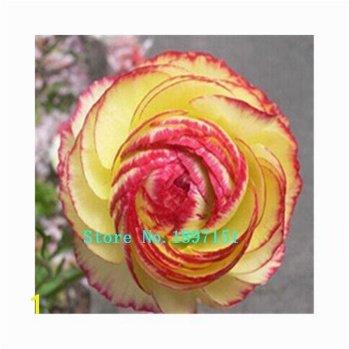 Amazon 100 PCS Bag Ranunculus seeds Flower Seeds For Home & Garden DIY Plants Persian Buttercup Seed Flower Bulbs Original Packaging Garden &