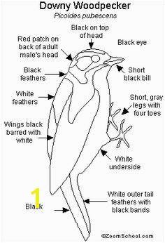Downy Woodpecker Printout EnchantedLearning Black And White Birds Downy Woodpecker Bird