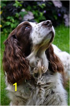 English Springer Spaniel Spaniel Breeds Spaniel Dog English Springer Spaniel Dog Friends