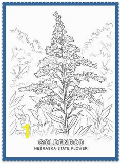 Nebraska State Flower Goldenrod by