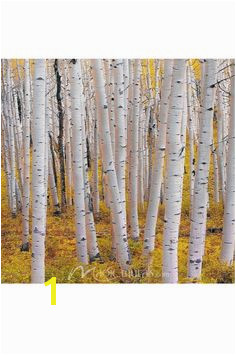 Aspen trees provide a maze of trees in this grove in higher elevations of Colorado Wall