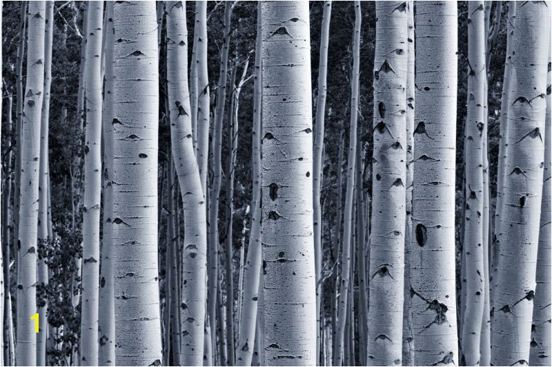 Silver Birch Forest Wallpaper Wall Mural