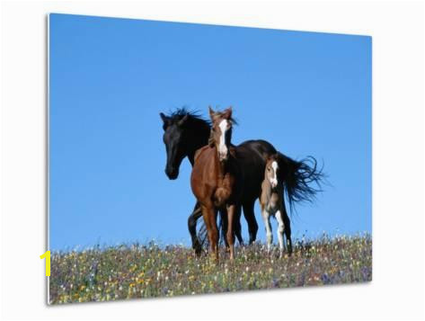 A View of Wild Horses in a Field of Wildflowers graphic Print by Raymond Gehman at AllPosters