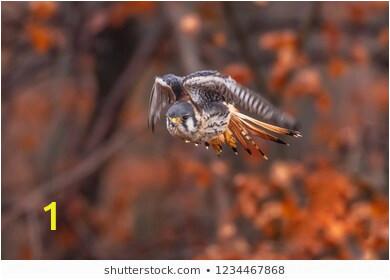 american kestrel falco sparverius sat 260nw
