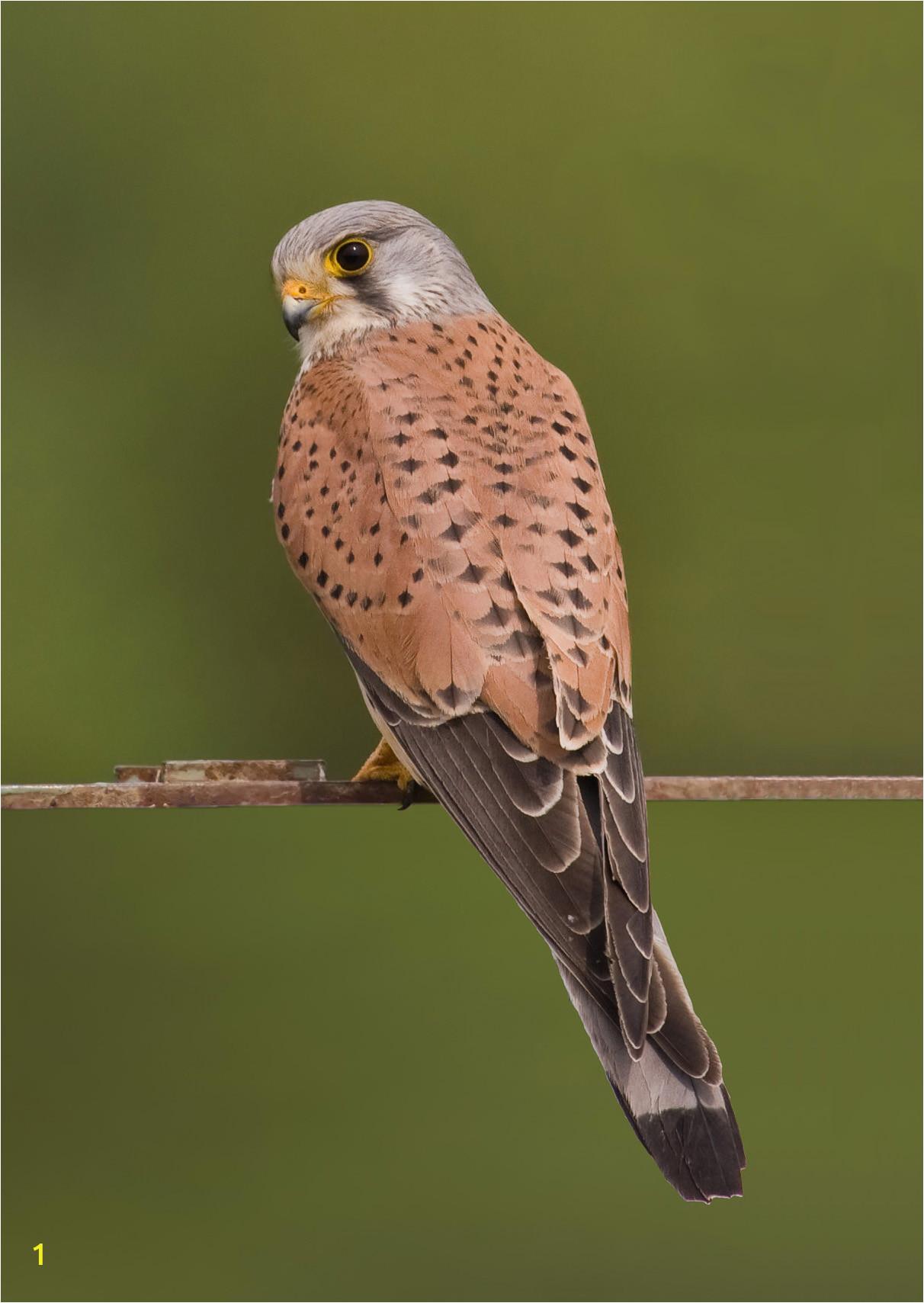 mon kestrel falco tinnunculus