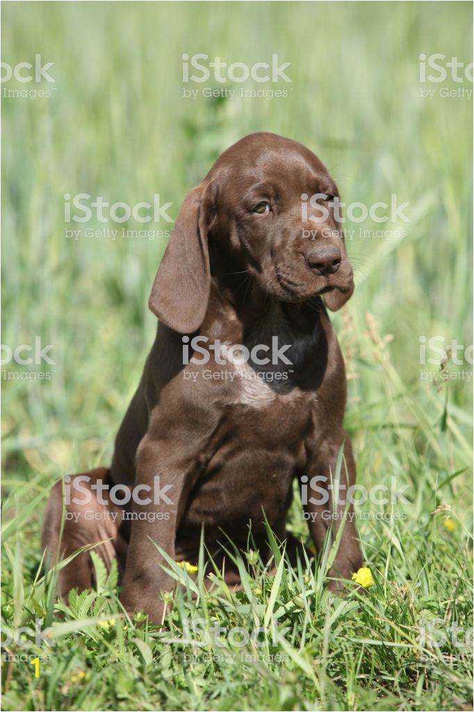 beautiful puppy od german shorthaired pointer picture id