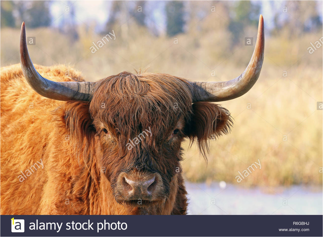 close up scottish highland cattle in winter R6GBHJ