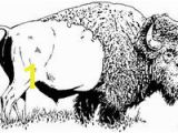 American Bison Coloring Page 215 Best Buffalo and Bison Sketches Images
