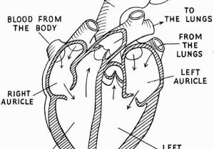 Anatomical Heart Coloring Pages Human Heart Coloring Page Google Search Except for the