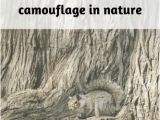 Animal Camouflage Coloring Pages Printable 32 Examples Of Camouflage In Nature Project Learning Tree
