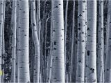 Black and White forest Wall Mural Silver Birch forest Wallpaper Wall Mural