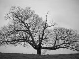 Black and White Tree Wall Mural Old Tree Black and White Wallpapers Hd