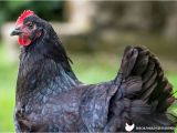 Blue Hen Chicken Coloring Page All About Australorp Chickens