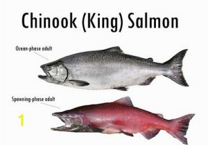Chinook Salmon Coloring Page Alaska S Five Species Of Pacific Salmon Alaska Department Of Fish