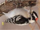 Downy Woodpecker Coloring Page Gallery Of north American Woodpeckers