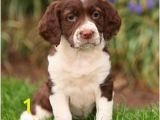 English Springer Spaniel Coloring Pages the English Springer Spaniel the Happy Puppy Site
