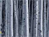 Forest Wall Murals Uk Silver Birch forest Wallpaper Wall Mural