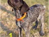 German Shorthaired Pointer Coloring Page 3949 Best Gsps Furever Images In 2019