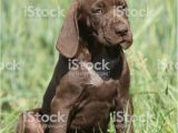 German Shorthaired Pointer Coloring Page Beautiful Puppy Od German Shorthaired Pointer Stock
