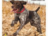 """German Shorthaired Pointer Coloring Page Willow Creek Press Animals Monthly Wall Calendar 12"""" X 12"""" German Shorthaired Pointers January to December 2020 Item"""