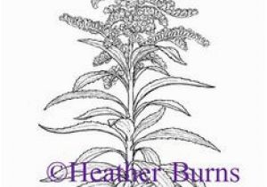 Goldenrod Coloring Page 49 Best State Flower Coloring Book Images