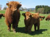 Highland Cow Wall Mural Cows Pictures