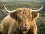 Highland Cow Wall Mural Graphic Print A Highland Cow On the Applecross