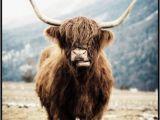 Highland Cow Wall Mural Highland Cow Poster Schotse Hooglander Koe Posterstore