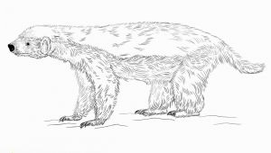 Honey Badger Coloring Page Honey Badger Coloring Page