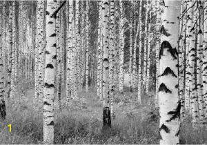 Komar Birch forest Wall Mural Komar Fotobehang Woods Fotobehang Beschilderde Muur En