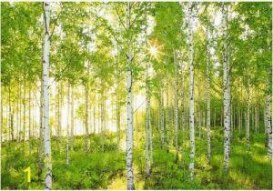 Komar Birch forest Wall Mural Sunday 8 519 Wall Mural