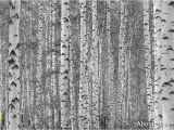 Komar Birch Wall Mural Birch Tree forest Black and White Wall Mural