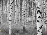Komar Birch Wall Mural Komar Fotobehang Woods Fotobehang Beschilderde Muur En