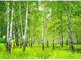 Komar Birch Wall Mural Suchergebnis Auf Amazon Für Fototapete Birkenwald 4