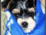 Morkie Coloring Pages Morkie Puppies Pictures Galore Including Images and Slides Of Our