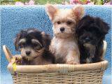 Morkie Coloring Pages Morkies Vary In Color and Size but they Hold the Same Place In