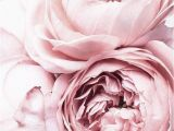 Pink Rose Wall Mural Peonies Print Blush Pink Flower Poster Blush