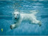 Polar Bear Wall Mural Mini Mural Polar Bear 1 Wall Graphic Ocean Sea Underwater