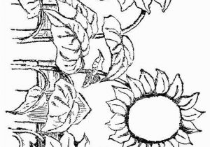 Printable Sunflower Coloring Page Sunflowers