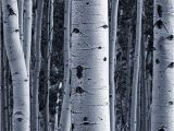 Silver Birch Wall Mural Silver Birch forest Wallpaper Wall Mural