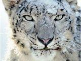 Snow Leopard Wall Mural so Beautiful Leopard