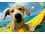 Surf Dog Wall Mural 84 Best Surf Dogs Images