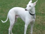 Whippet Coloring Pages Park Whippet White Whippet Pinterest