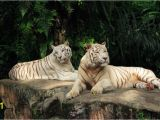 White Tiger Wall Mural Tiger and Tigress Albinos World Of Animals Wallpaper Mural