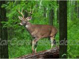 Whitetail Deer Murals Buck Deer In the Woods Scene Rear Window Graphic