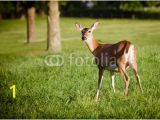 Whitetail Deer Murals Portrait Pregnant Whitetail Deer Doe Odocoileus Virginianus